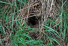 water vole nest identified during the native species survey at Shepreth Wildlife Park
