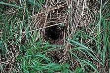 water vole nest identified during the native species survey at Shepreth Wildlife Park