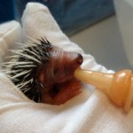 Feeding time for a baby hedgehog