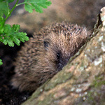 a hedgehog in the wild by a tree root