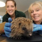 hedgehog hospital staff weighing a hedgehog at Shepreth