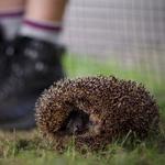 hedgehog curled up near a boys feet in a field