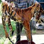 man holding a tiger skin - wildlife conservation is critical if future generations are to see this magnificent creature in the wild